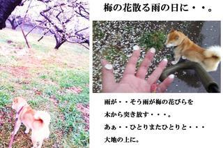 梅の花散る雨の日に・・・・・・・。.jpg